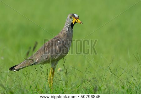 African Wattled Plover Posing