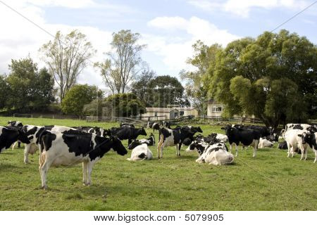 Herd Of Dairy Cows