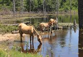 foto of conquistadors  - These wild spanish mustangs are Choctaw Indian Ponies - JPG