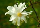 image of japanese magnolia  - Star Magnolia Closeup - JPG