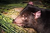 stock photo of taz  - Tasmanian Devil Nocturnal Australian Native Animal moving amongst vegetation - JPG