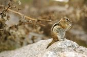stock photo of chipmunks  - Chipmunk on the Large Stone - JPG