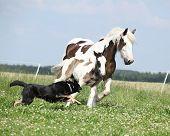 foto of runaway  - Irish cob mare with foal runaway from the dog - JPG