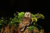 pic of small-hawk  - Boreal Owl standing on the moss in the wood - JPG