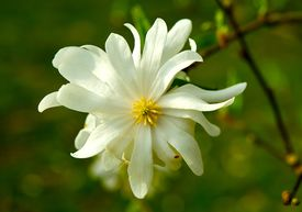 stock photo of japanese magnolia  - Star Magnolia Closeup - JPG