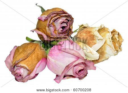 Dead Roses Isolated On White
