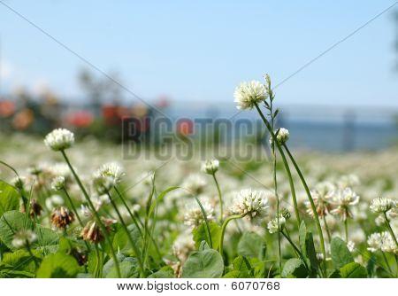 Flores do trevo