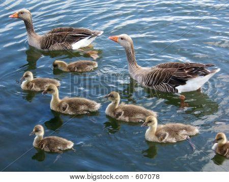 Greylag Goose Family 2