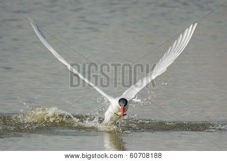 Caspian Tern Resurfacing With Fish