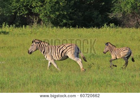 Wildlife Background from Africa - Zebra run of Life