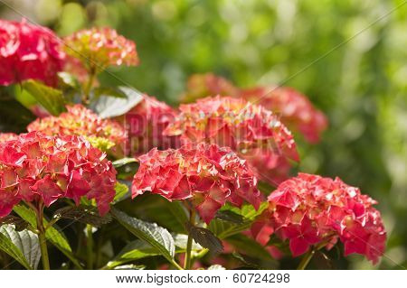 Flamy Colors On Hortensia Flowers