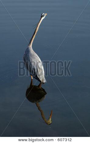Blue Heron Reflected