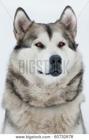 Alaskan Malamute Sitting And Looking Into The Distance