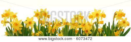Primavera de narcisos de fronteira