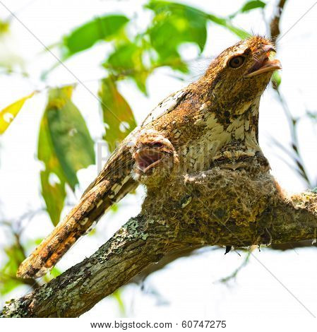 Hodgson Frogmouth