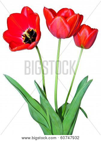 three tulips on white background