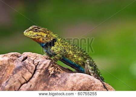 Male Iguana On A Branch
