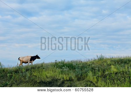 Cow on slope of green grass on background of blue sky