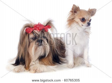 Shih Tzu And Chihuahua