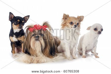 Four Little Dogs