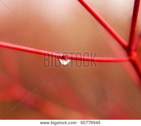 Dewdrop On Red Twig