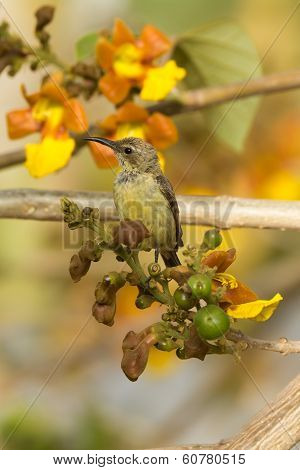 Female Beautiful Sunbird Perched In A Blossoming Tree