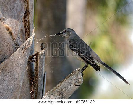 Northern Mockingbird Preparing to Build a Nest