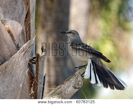 Northern Mockingbird Fanning Out Tail Feathers