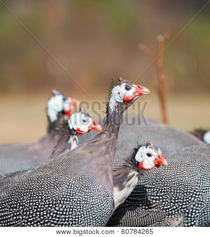 Hen Gathering