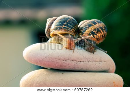 Couple Snail On A Pebbles Mountain