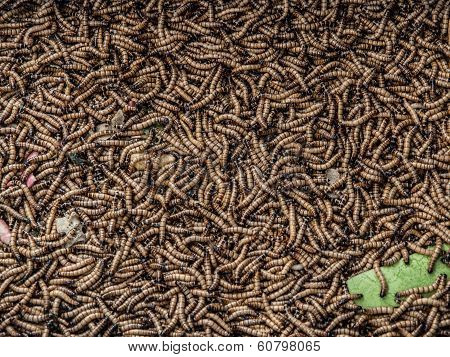 Worms In Animal Market