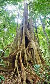 Gigantic tree trunk in the rainforest.