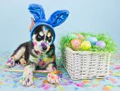 image of puppy eyes  - A little Husky puppy that looks like he just painted some Easter eggs wearing Bunny ears - JPG