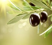 Olives. Black Ripe Olive on a tree. Food Border Design. Growing Olives