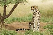 image of cheetah  - Female King Cheetah sitting up South Africa - JPG