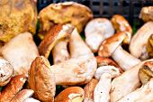 picture of porcini  - Closeup bunch of Porcini mushrooms at the market in Italy