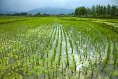 Rice Field Filled With Water Glowing Under Sun