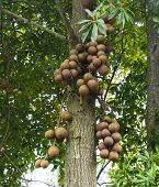 picture of cannonball  - Cannonball Tree in the tropical nature with fruit - JPG