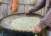 image of threshing  - arabica coffee beans in the threshing basket - JPG