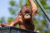 stock photo of orangutan  - Baby Orangutan climbing on a rope at the zoo - JPG