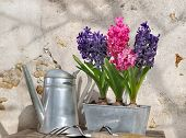 Hyacinths In Metal Pot