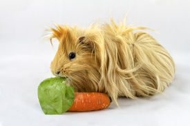 pic of gerbil  - Guinea pig with a carrot isolated on white background - JPG