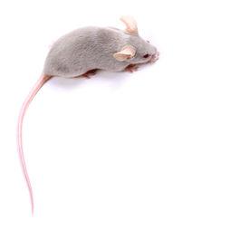 foto of fancy mouse  - Little fancy mice on a white background  - JPG
