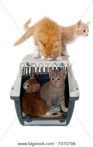 Sweet Cat Kittens In Transport Box