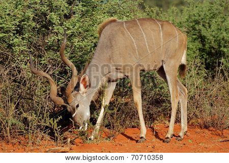 Male kudu antelope (Tragelaphus strepsiceros) feeding in natural habitat, South Africa