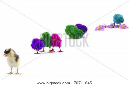 Colourful Chicks On White Background