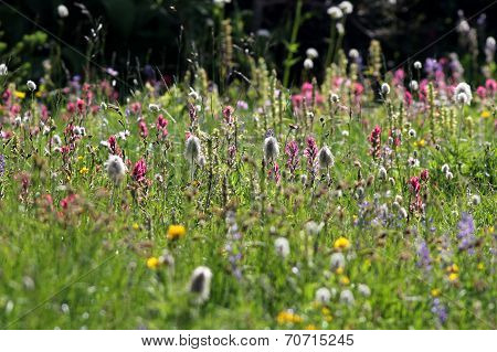 Field of Alpine Wildflowers