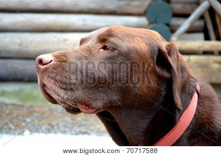 Skeptical Chocolate Labrador