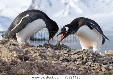 Male And Female Penguins Gentoo From The Nest In The Oment Transfer Stone