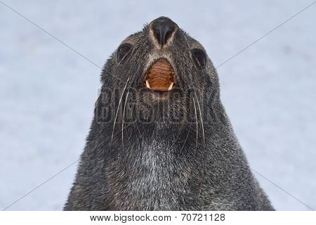 Portrait Of A Fur Seal That Roars